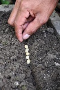 2. Bohneneinpflanzung