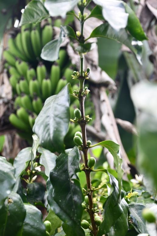 8. Bananenbaum